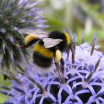 White tailed bumble bee on allium