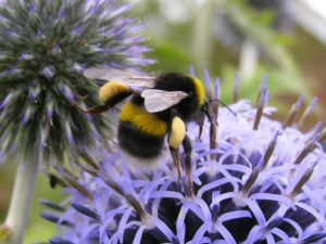 White tailed bumble bee on allium