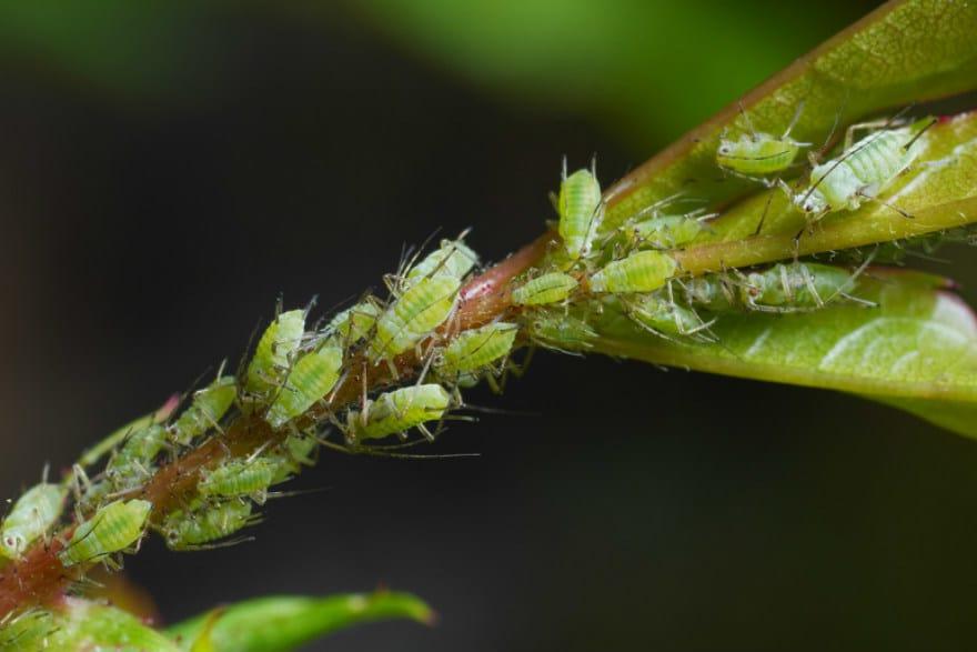 aphids in the garden richard jackson 39 s garden. Black Bedroom Furniture Sets. Home Design Ideas