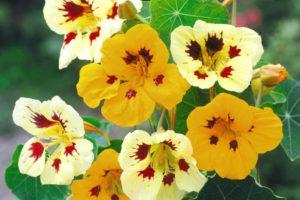 Nasturtium Ladybird Mix