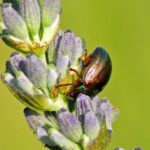 rosemary beetle