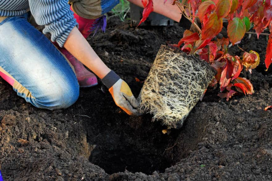Planting shrubs and trees in autumn