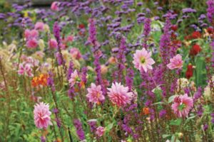 dahlias and agastache