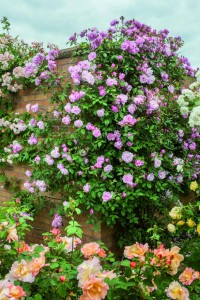 Climbing rose 'Mortimer Sackler'