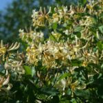 Lonicera