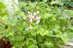 Fragrant pelargonium