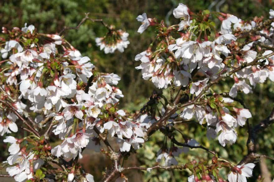 spring flowering shrubs richard jackson 39 s garden. Black Bedroom Furniture Sets. Home Design Ideas