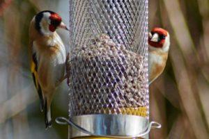 Greenfinches at a bird feeder