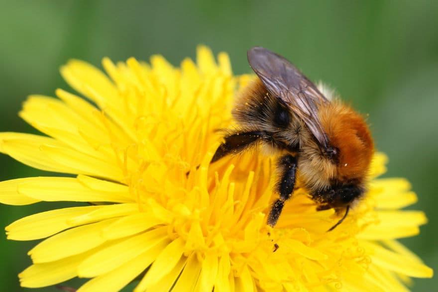Bee on a dandelion flower