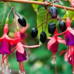 fuchsia berry