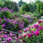 The Long Garden at David Austin Roses.