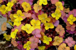Erysimum 'Tropical Sunset'