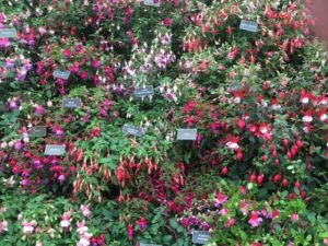 Roualeyn Fuchsias in the Floral Marquee