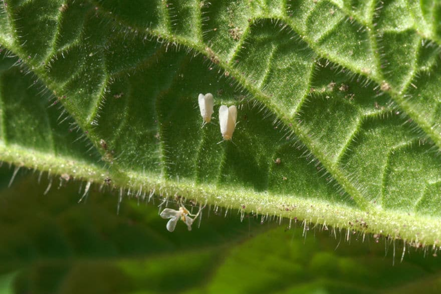 how to get rid of whitefly in greenhouse