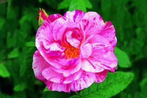 Rose Mundi
