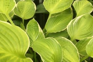 Hosta 'Winter Snow'