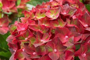 Hydrangea Magical Ruby