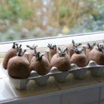 Chitting Seed Potatoes