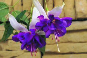 Fuchsia Deep Purple