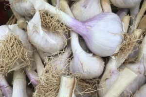 hard neck garlic