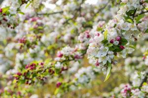 blossom of malus 'evereste'