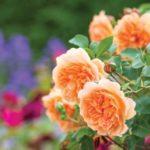 Rosa 'Dame Judi Dench'