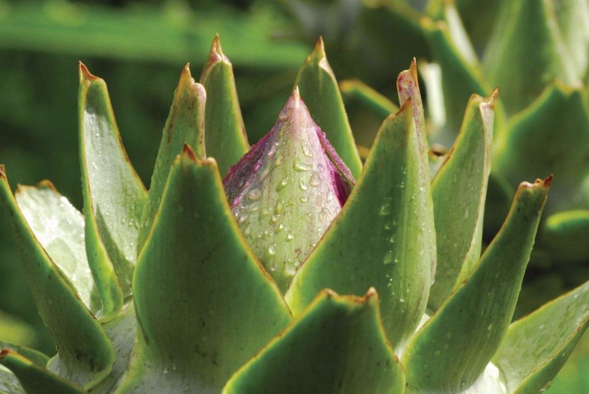 Artichoke in bud