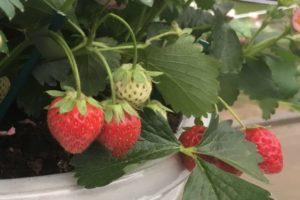 Strawberry JUST ADD CREAM