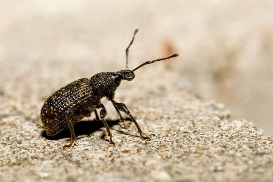Vine weevil. Image: Adobe/artrush