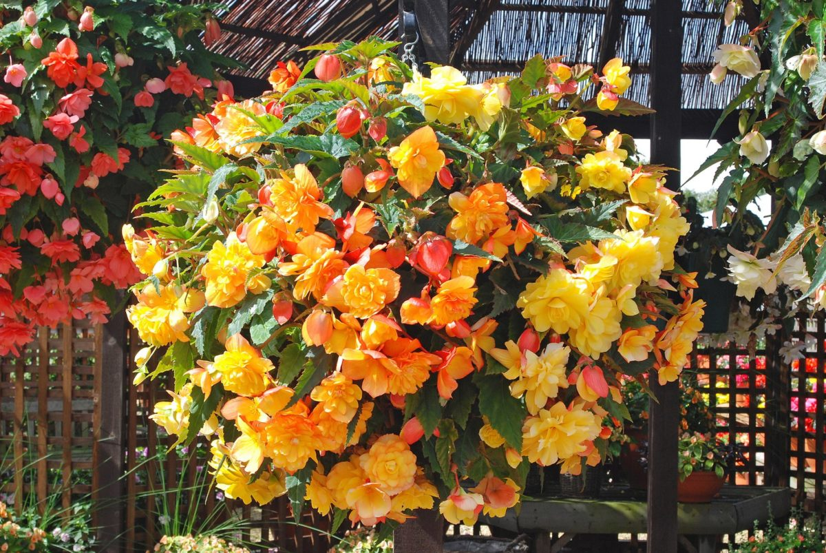 Begonia Apricot Shades in hanging basket