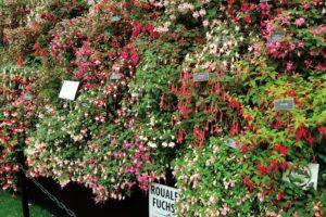 Roualeyn Nursery's award winning stand of fuchsias