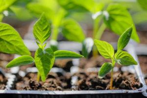 vegetable seedlings in seed trays