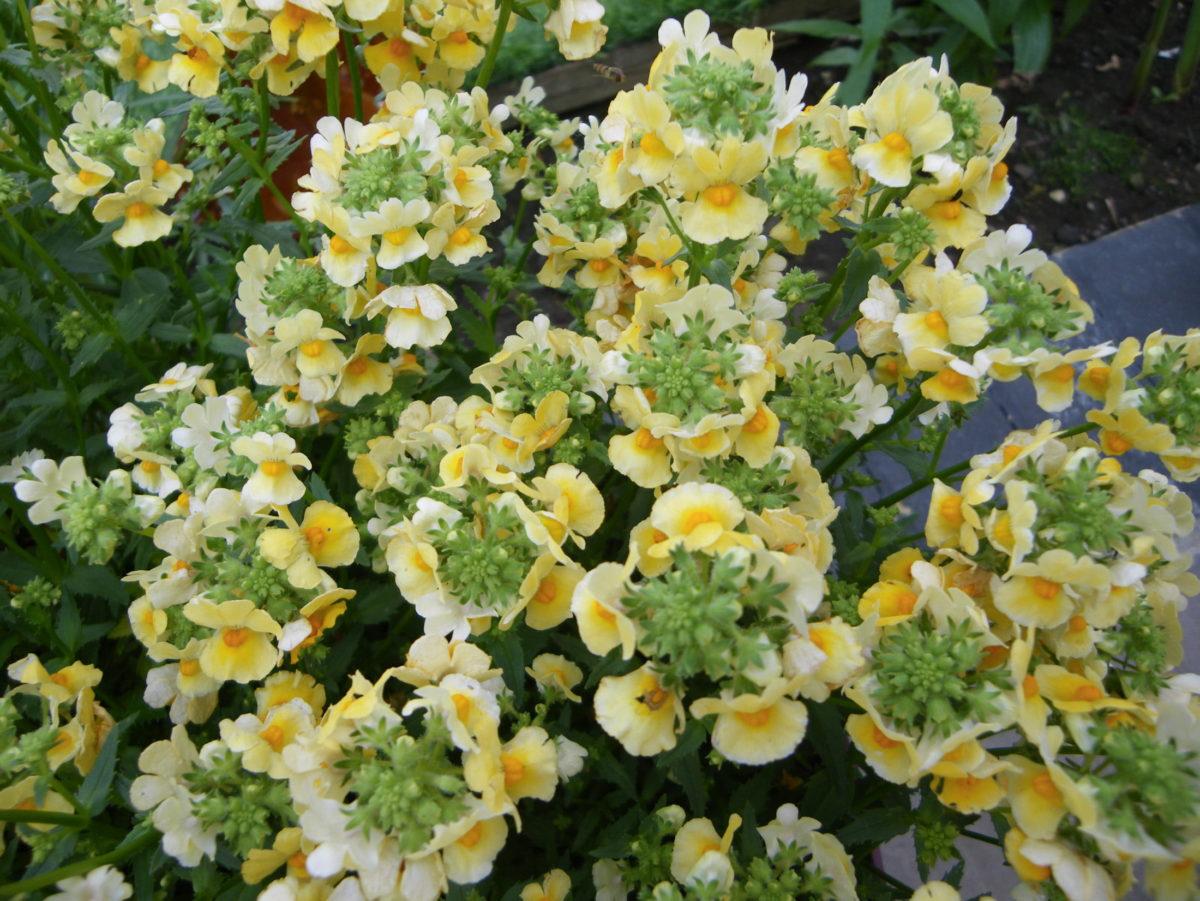 Nemesia 'Honey Dark Yellow' (Plants2Garden)
