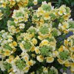 Nemesia 'Honey Dark Yellow' (Plants2Garden)