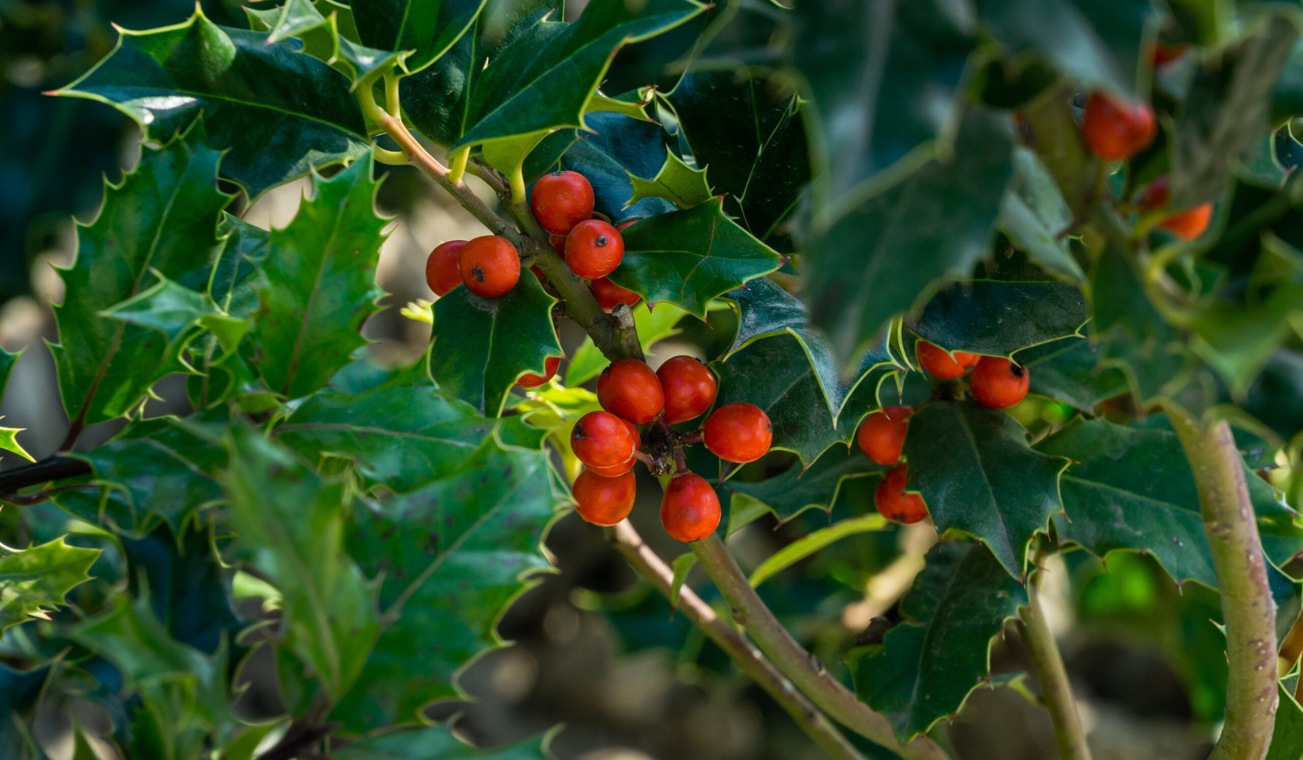 Christmas holly ilex aquifolium