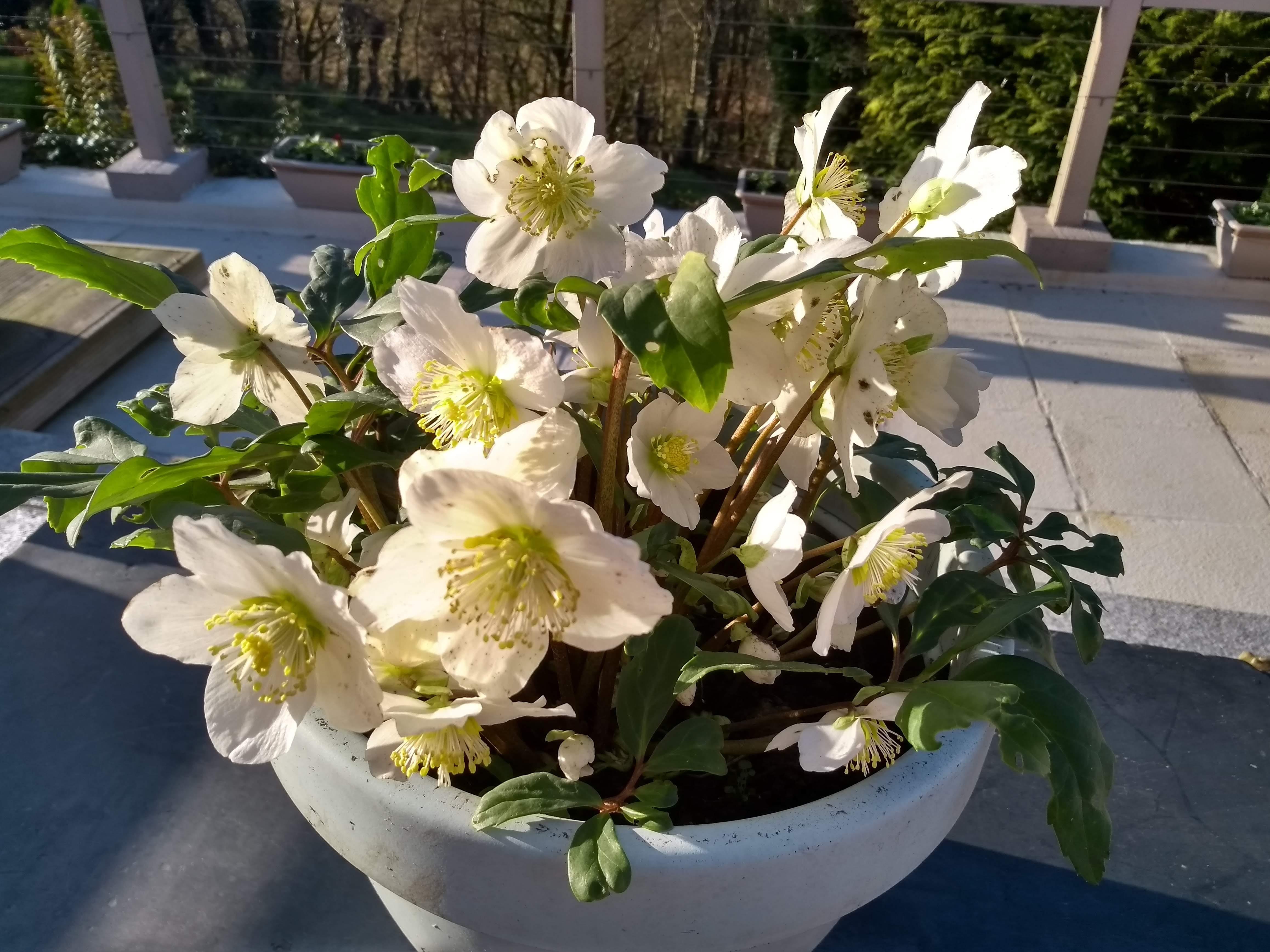 white hellebores in pot