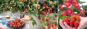 day neutral strawberries 3 photos