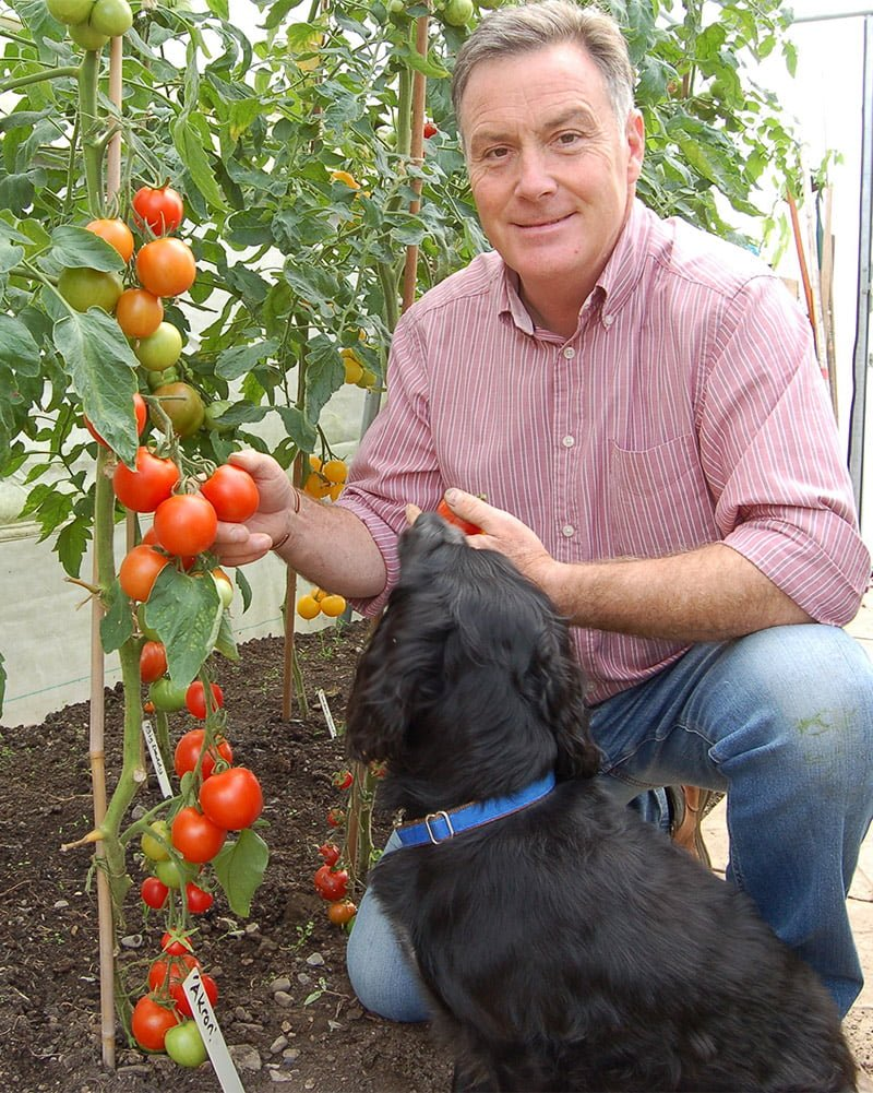 Martin Fish in poly tunnel picking tomatoes