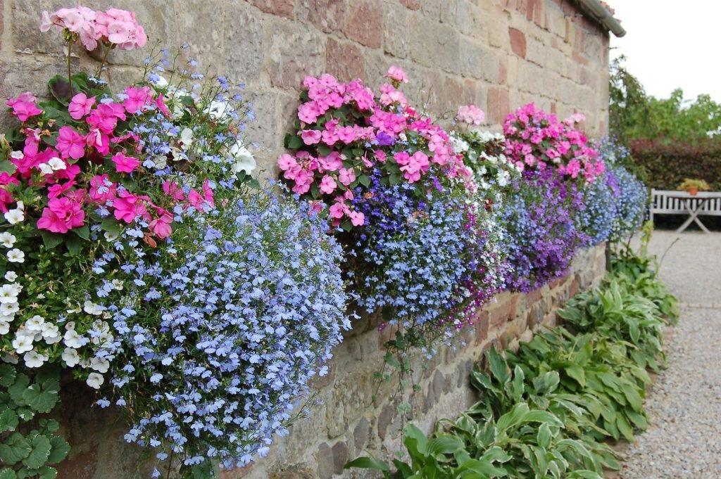 wall mangers in full bloom