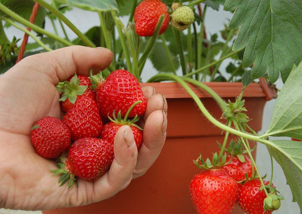 Martin Fish picking strawberries
