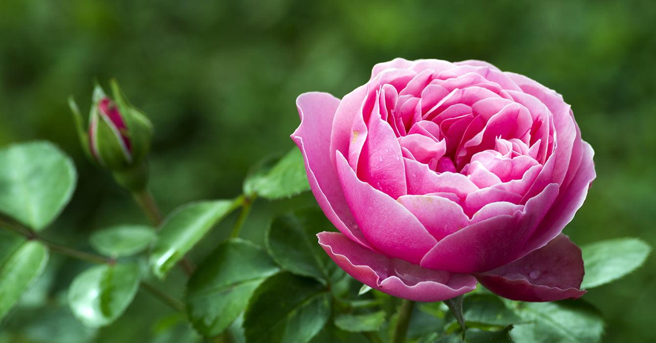 pink rose opening