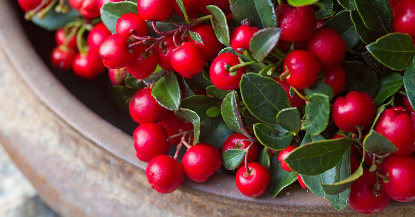 gaultheria in pot with red berries