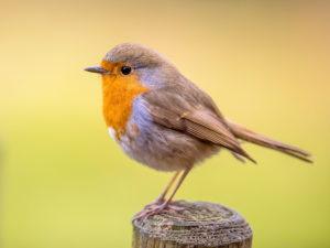 robin stood on fence post
