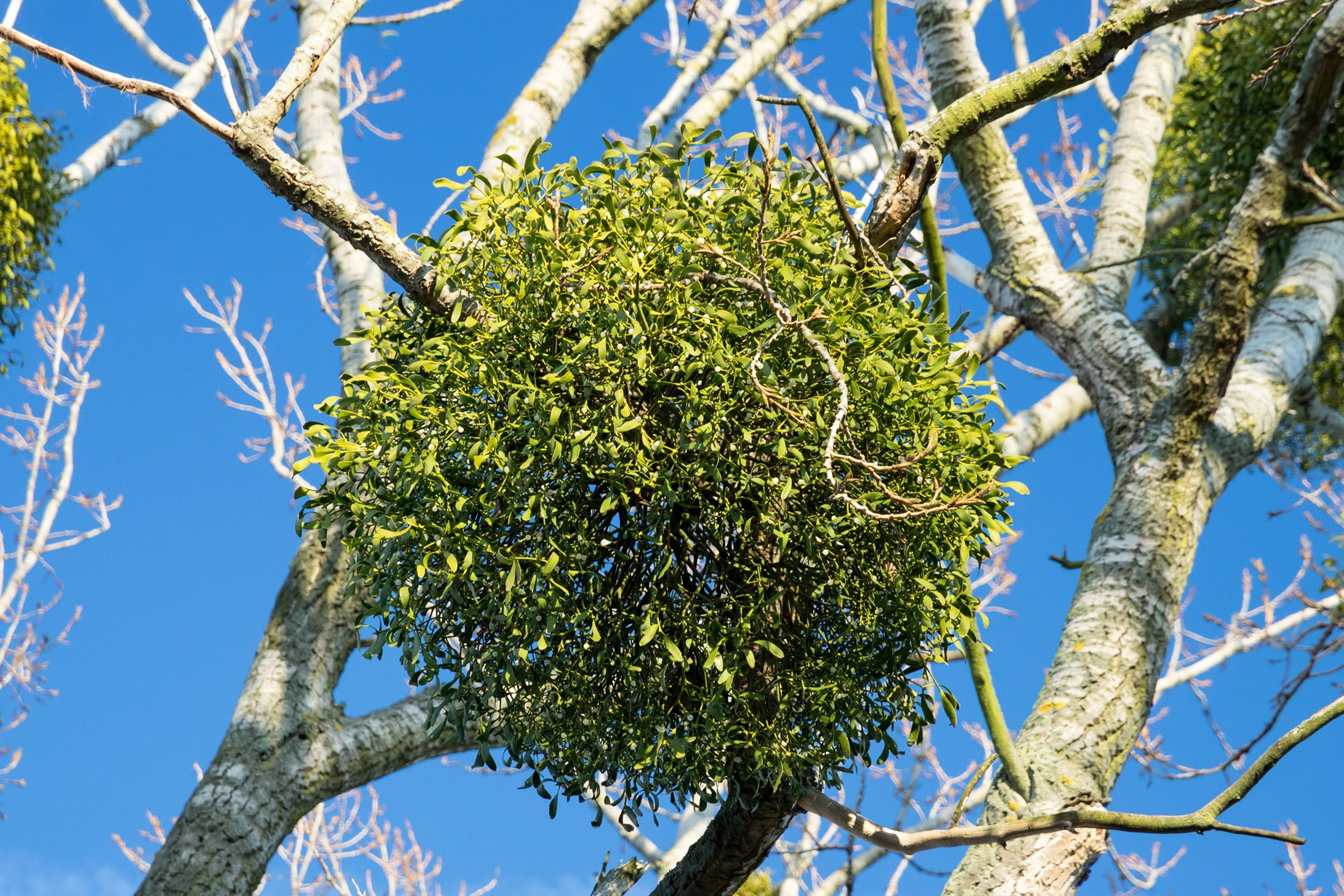 mistletoe growing in tree