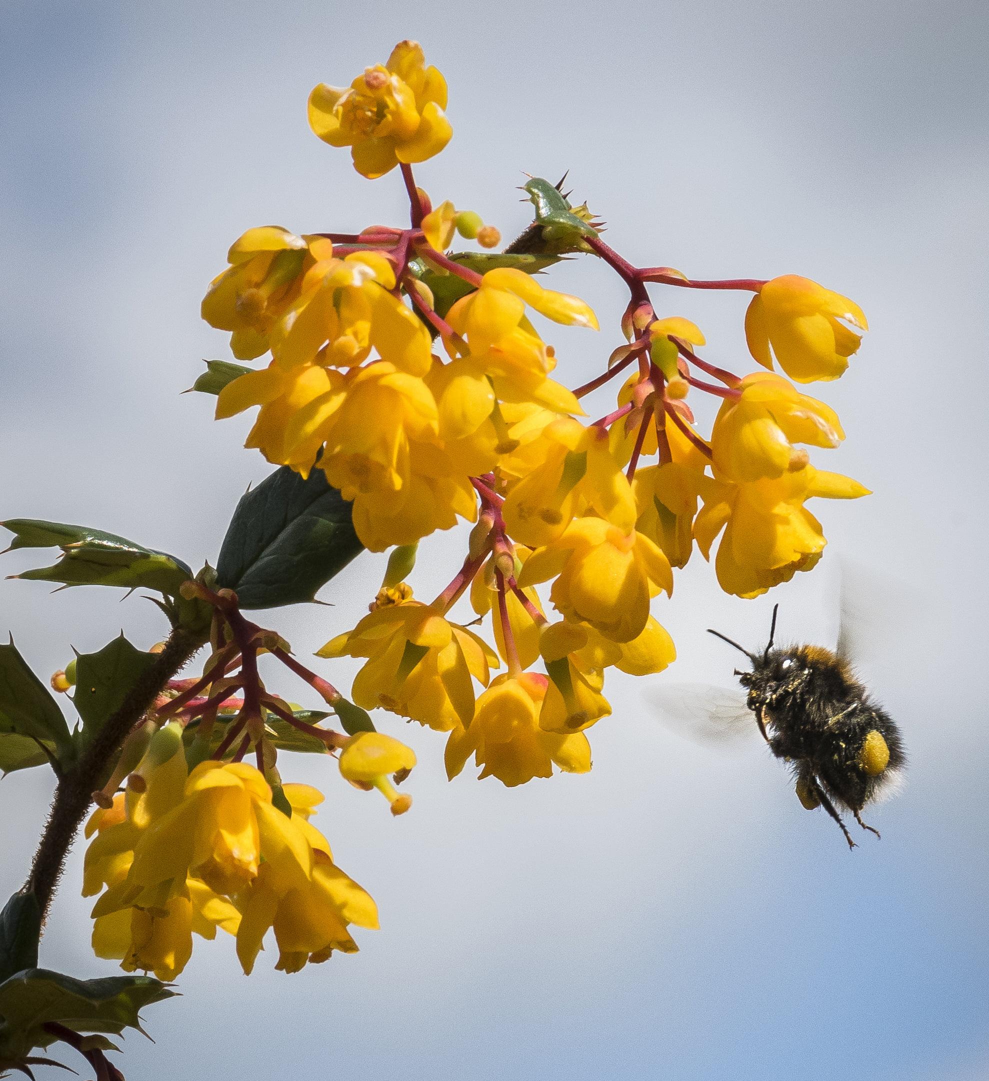 Yellow Berberis flowers with bee