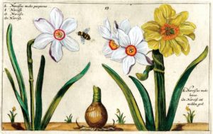 Narcissus poeticus and bee