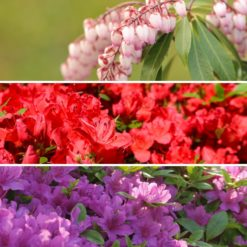 Evergreen Shrub Collection -Pieris and Azaleas
