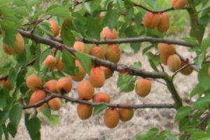 Apricot 'Flavourcot'