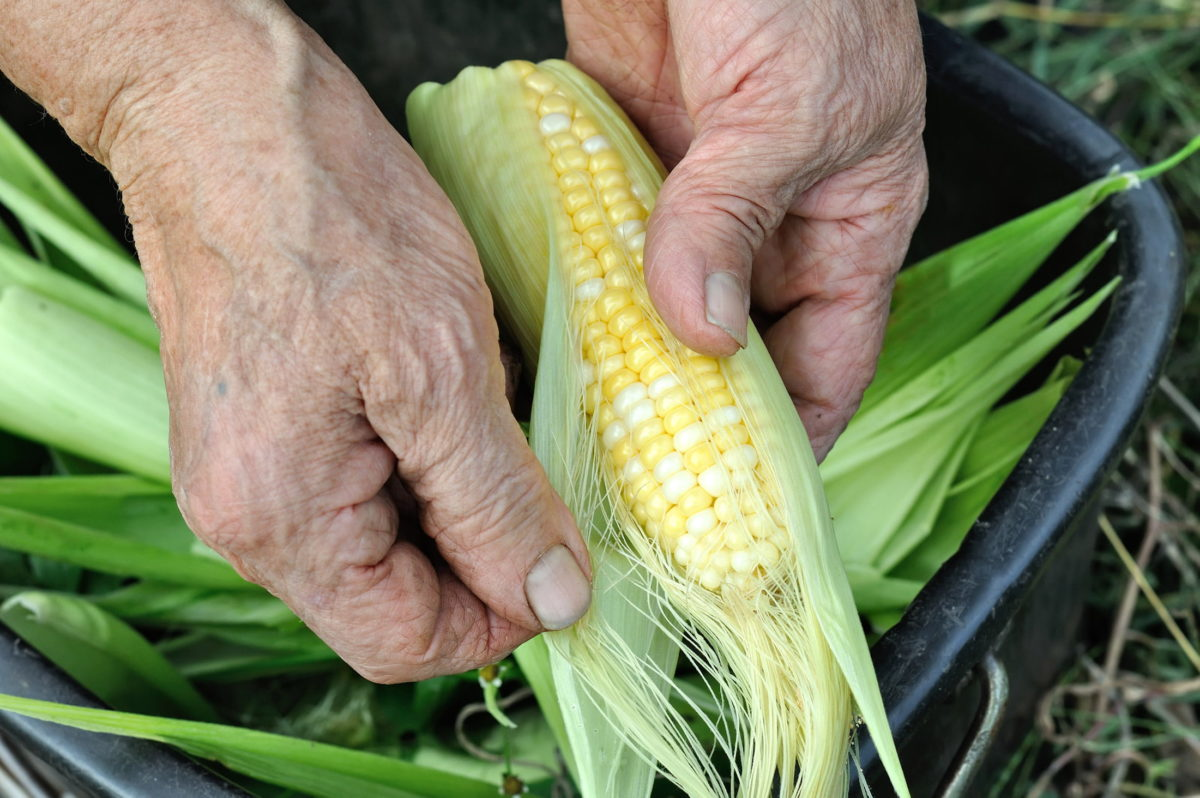 hands holding sweetcorn cob