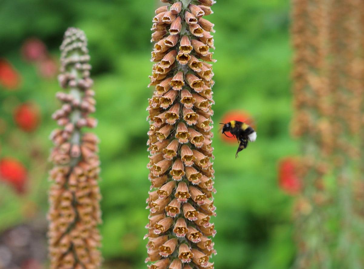 bee on digitalis parviflora